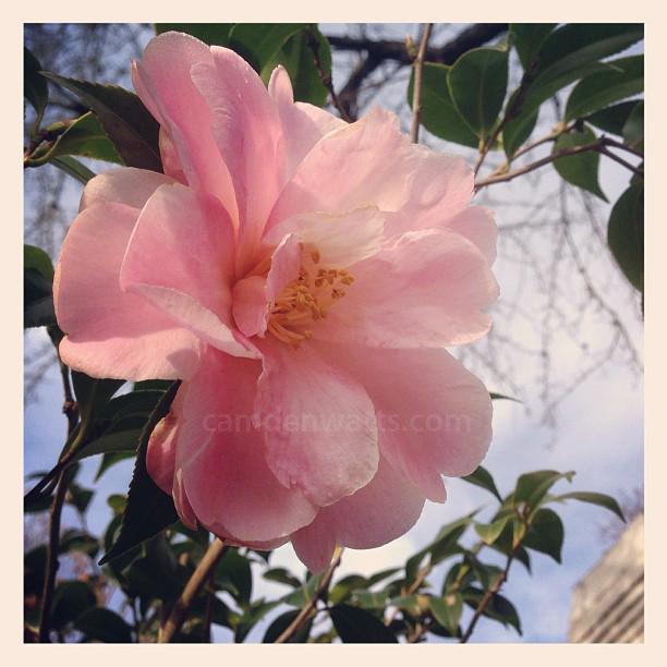 fearrington-village-camellias