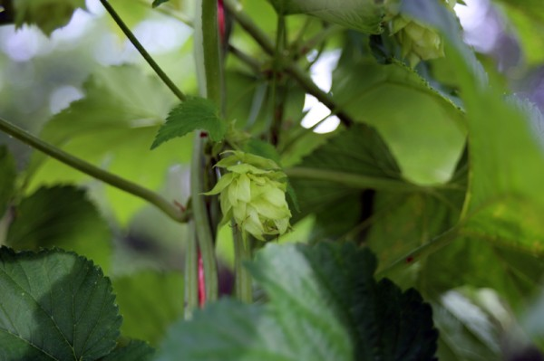 Hops are grown at Farm Boy Farms in Pittsboro, N.C. They climb a trellis made from cedar tree trunks that are more than 20' tall.